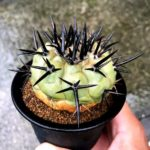 Copyapore Black Crown Cactus